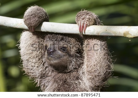 Three Toed Sloth (Bradypus variegatus)