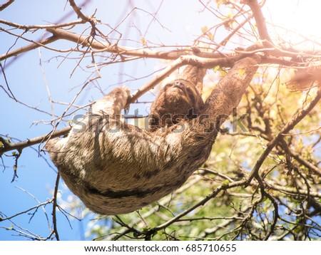Three-toed sloth, Bradypus variegatus, hanging from a branch, Santa Cruz, Bolivia, South America