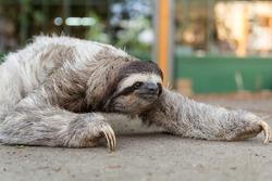 Three-toed sloth in Costa Rica. Mammal, lazy.