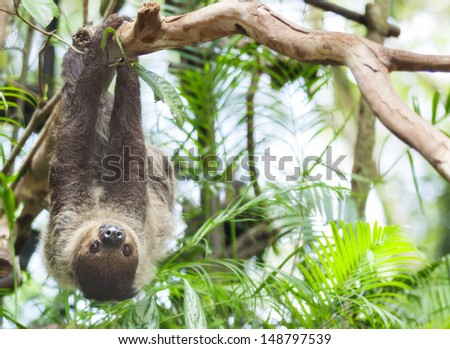 Three-toed Sloth in nature #148797539
