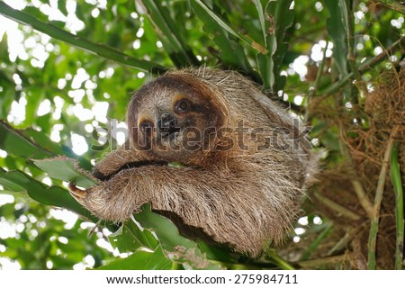 Three-toed sloth looking at camera in the jungle, wild animal, Costa Rica, Central America