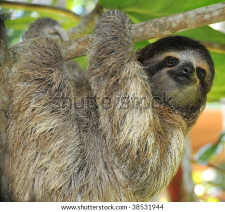 three toed sloth, male juvenile, cahuita, costa rica, latin america, exotic mammal in tropical jungle setting
