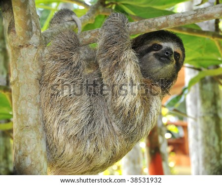 three toed sloth, male juvenile, costa rica