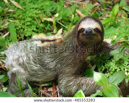 Three toed sloth on the ground #485553283