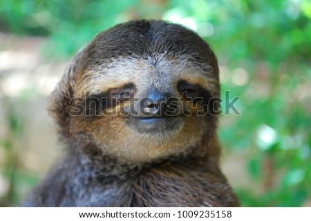 Three-toed sloth smiling