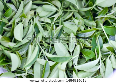 three top young tea leaves.Tea leaves collecting area in Thailand