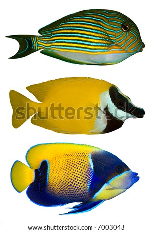 Three Tropical Fishes isolated on white