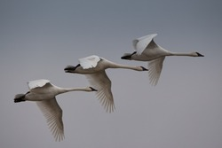 Three trumpeter swans flying