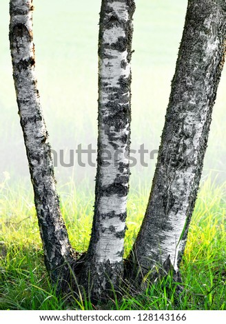 Three trunks of birch trees on foggy early summer morning