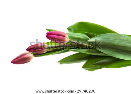 three tulips isolated on white background
