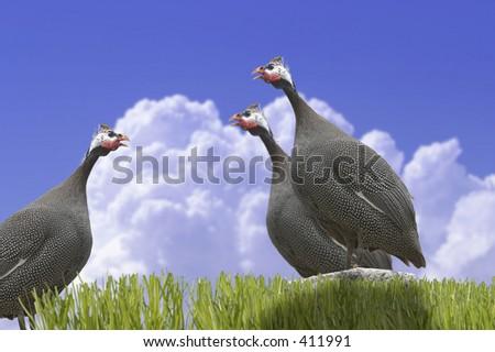 Three turkey standing on the rock.