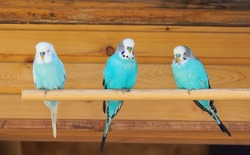Three turquoise blue budgies are sitting on a wooden pole. Colorful plumage of birds. Wooden background.