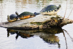 Three turtles basking on wood in water
