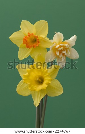 Three types of daffodil isolated against a green background