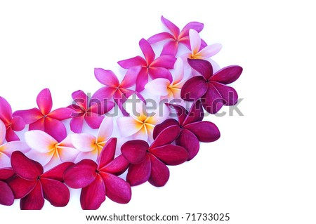 three types of Frangipani flowers arranged for design