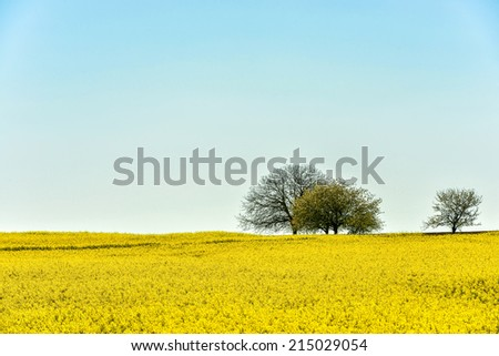 Three umbrella-shaped trees on the horizon line between the endless yellow field and light blue sky
