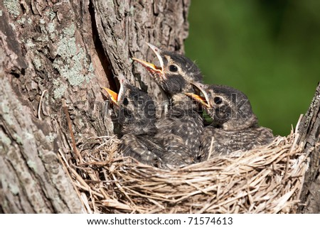 three unfledged young robins cry in hunger for their parents to feed them; birds in a nest with shallow focus next and green background.