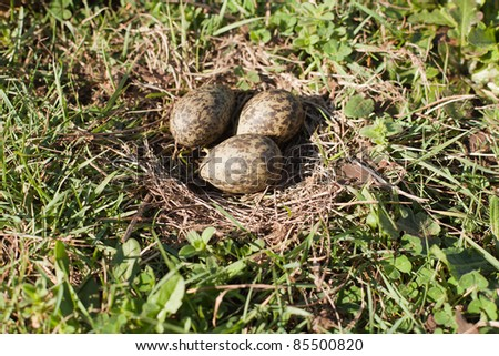 Three unhatched plovers eggs in the nest