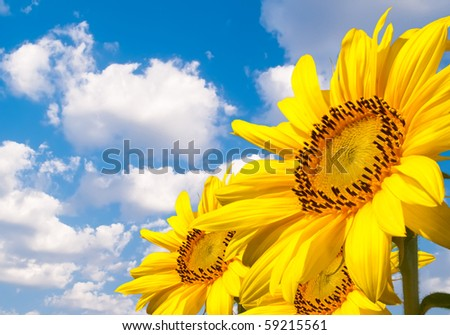 Three very beautiful sunflowers against blue sky with clouds