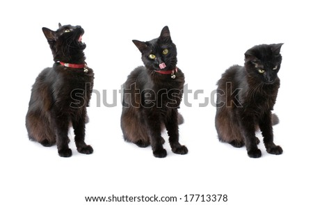 Three views of a black cat with long hair isolated on white