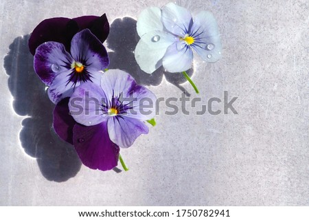 Three viola flowers floating in the water, purple viola flowers, water drops on petals, flowers cast shadows, light purple background, space for text Сток-фото ©