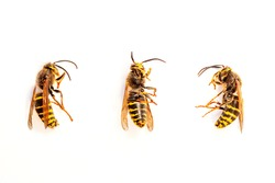 Three wasps in front of white background from various angles in detail. European wasp German wasp or German yellow jacket (Vespula germanica) showing Back and Side views. pest control concept. Vespula