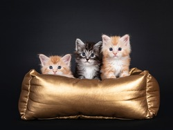 Three 5 week old Maine Coon cat kittens, sitting in golden basket. All looking towards camera. Isolated on black background.