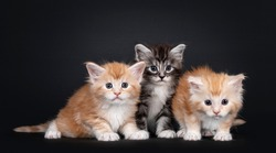 Three 5 week old Maine Coon cat kittens, sitting on a row. All looking towards camera. isolated on black background.