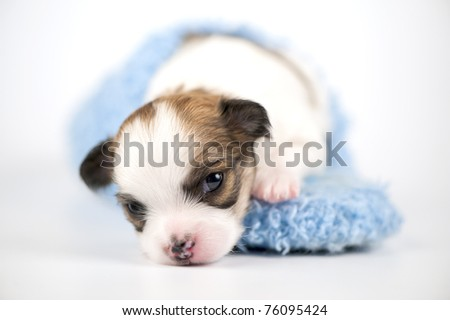 Three weeks old white with red Chihuahua puppy in blue slipper close-up on white background (shallow focus)