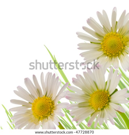 three white and yellow flowers and a green grass isolated on a white background - border angle of a page