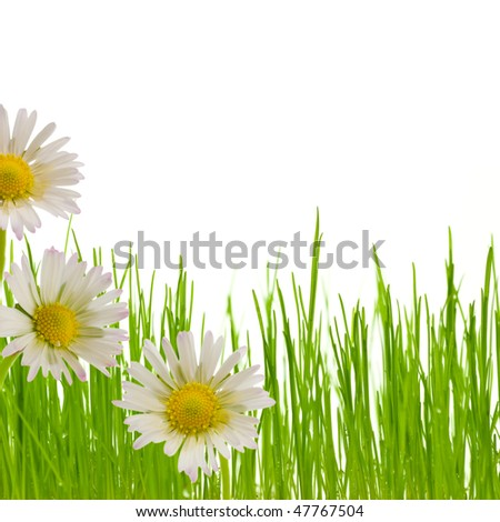 three white and yellow flowers and a green grass isolated on a white background - border bottom of a page - stock photo