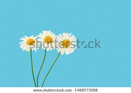 Three white beautiful chamomile on a blue background. Spring or summer background with copy space for text. Minimal concept, copy space. #1488973088