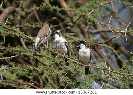 Three White-browed Sparrow Weaver Birds in a row