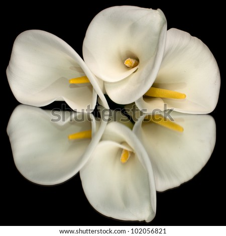 Three white calla lillies isolated on black background with reflection