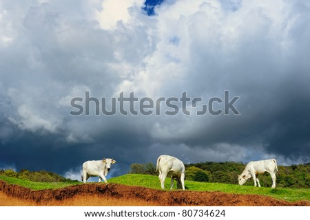 Three white cow on a hill in the valley