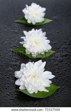 Three white daisies with water drops on black background