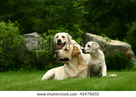 Three white dogs of a miscellaneous age pose on a lawn in park - stock photo