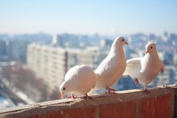 Three white doves coo against the cityscape from a high floor. Relationship of a group of white birds. Doves symbol of peace and family and romantic love