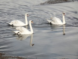Three white ducks moving along the river