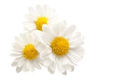 Three white flowers against white background