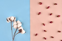 Three white flowers of cotton and some small dried rosebuds against pink and blue background. Nature, floral concept. Close up, copy space