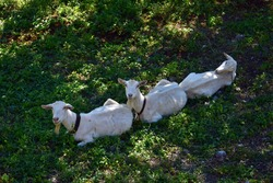 Three white goats with bells lying in a row. Lombardy, Italy.