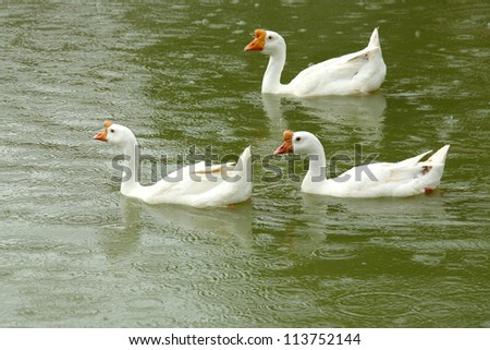Three white goose floating in the pond