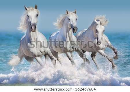 Three white horse run gallop in waves in the ocean