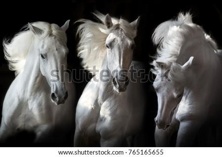 Three white horse with long mane run free on black background