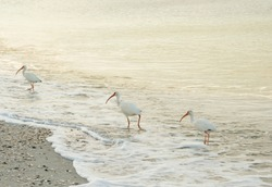 Three White Ibis with striking orange beaks strut across Vanderbilt Beach in Naples, Florida.