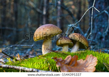Three white mushrooms grows in nature. Autumn mushroom grow in forest. Natural raw food growing. Edible cep, vegetarian natural organic meal #1544395337