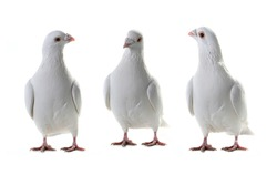 three white pigeon on a white background