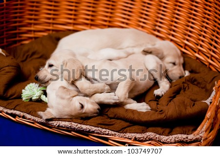 Three white saluki pups sleeping near each other in an old basket
