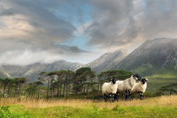 Three white sheep in foreground. Twelve pines island and scenic mountains in the background. Beautiful clouds over mountain peaks. Connemara area, county Galway, Ireland.